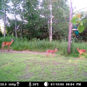Doe and two fawns enjoying a meal