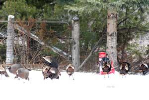 Wild Turkeys gobble up Rack Stacker Feed