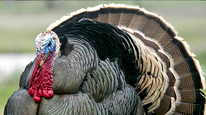 9002ee0580 What do wild turkey s eat  They gobble up rack stacker feed.