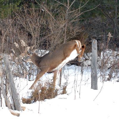 Deer-jumping-fence
