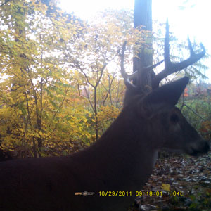 8 point Buck caught investigating our Buck Fever Scrape and licking branch on SpyPoint Pro-X Trail Cam