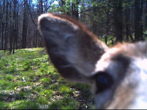 Did you loose your Spypoint Trail Camera to a deer?