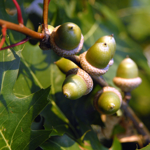 Deer love acorns