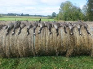 Limit of Geese